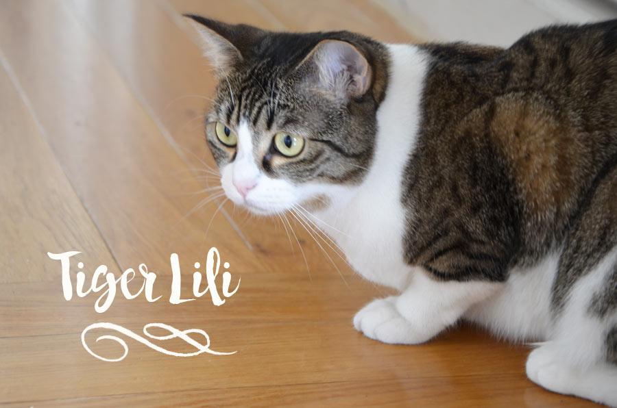 Tiger Lili le chat
