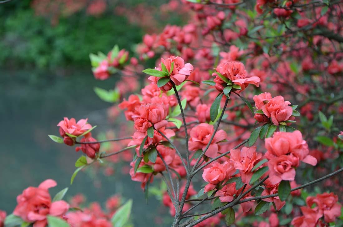 fleurs de Moganshan