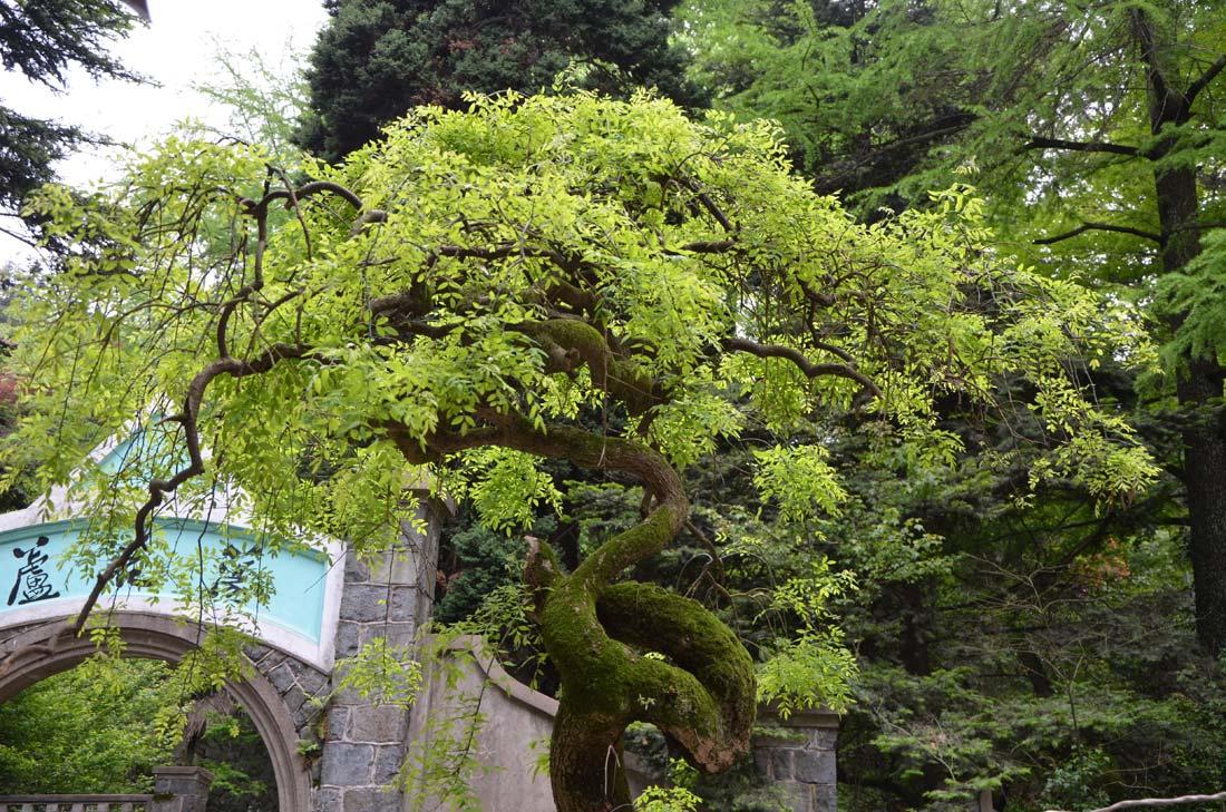 arbre à Moganshan
