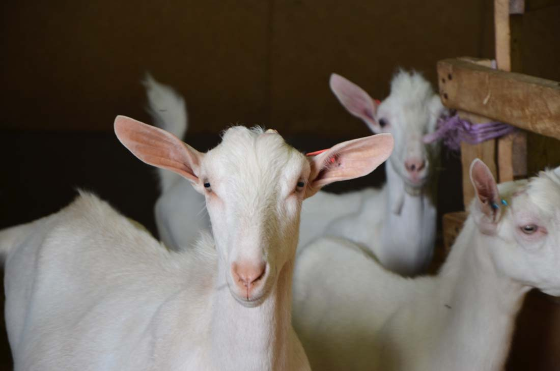 chèvres Petit Billy