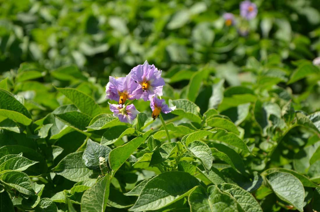 fleur de ratte du Touquet