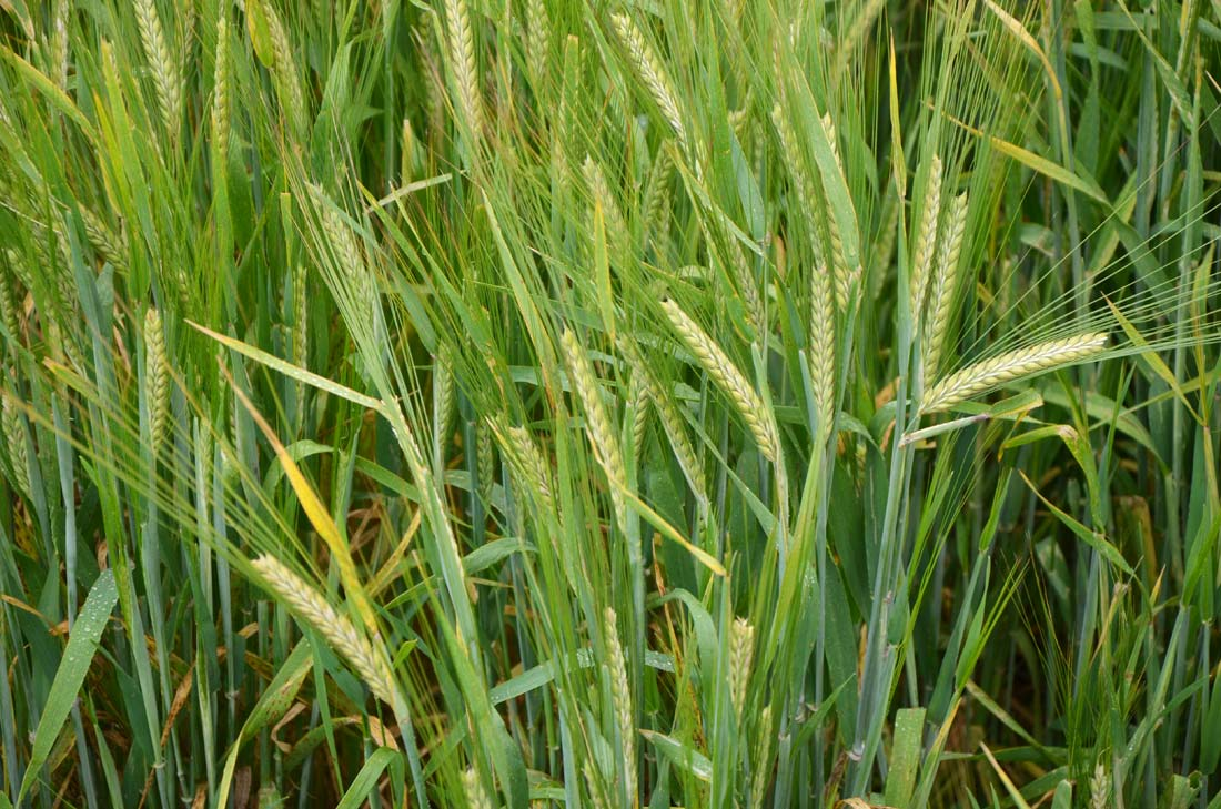 champ de blé à bière