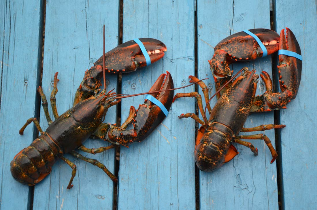 beaux homards du Québec