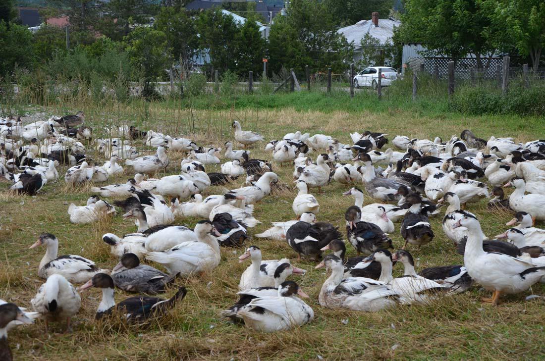 canards de la Ferme Basque de Charlevoix