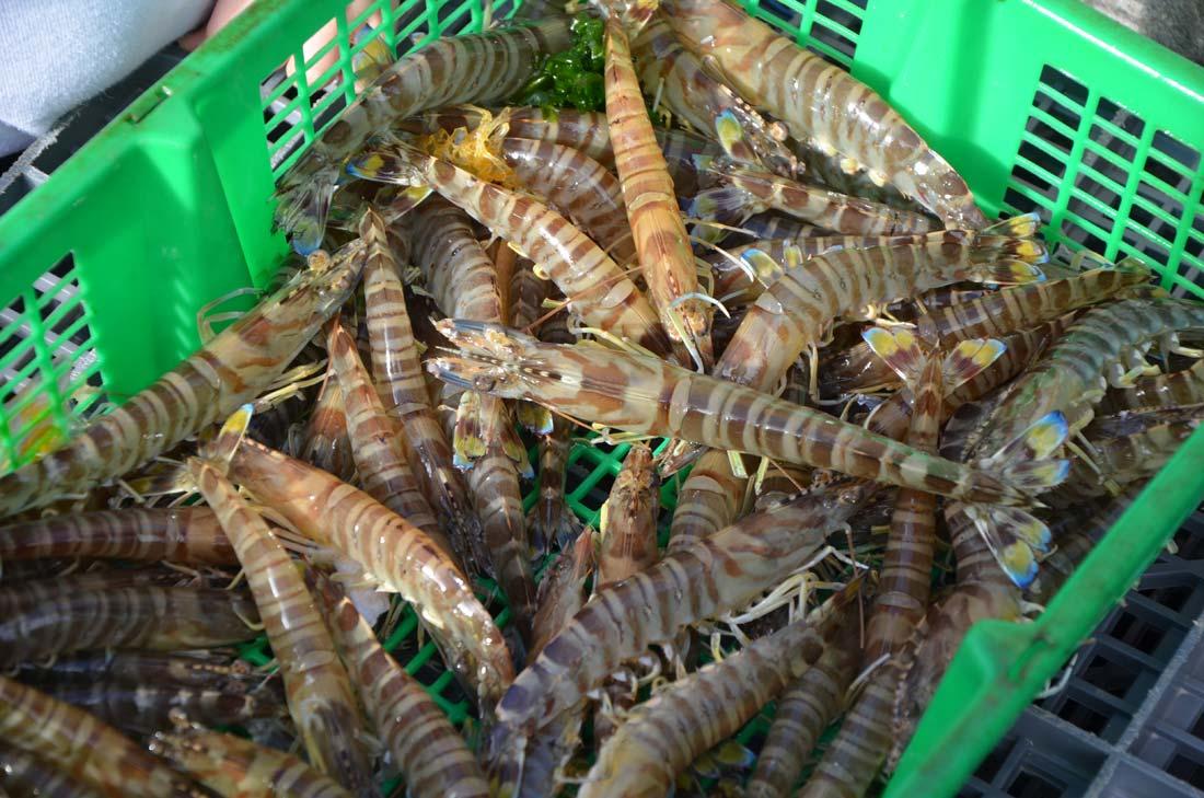 crevettes impériales vivantes