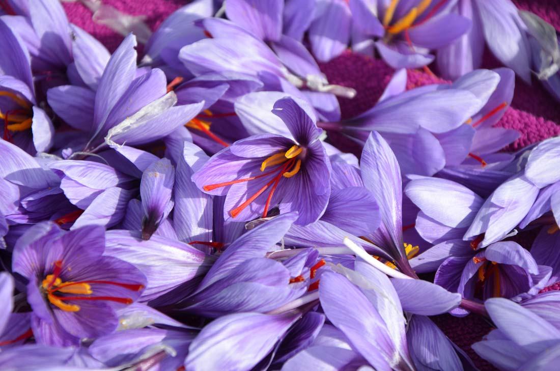 fleurs de crocus