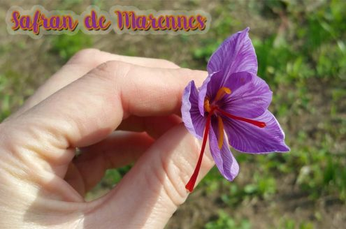 Safran de Marennes Oléron