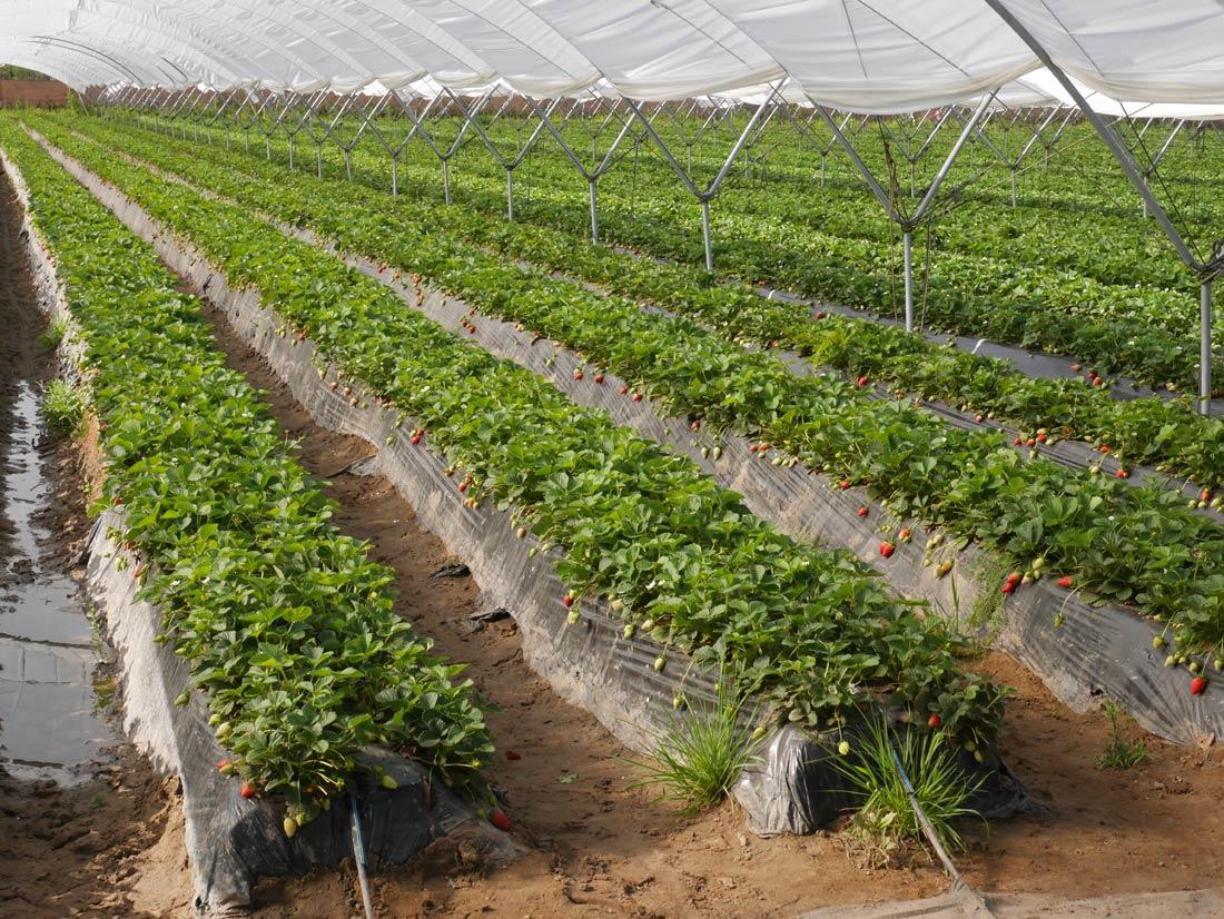 champ de fraises