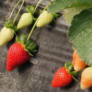 fraises d'Europe