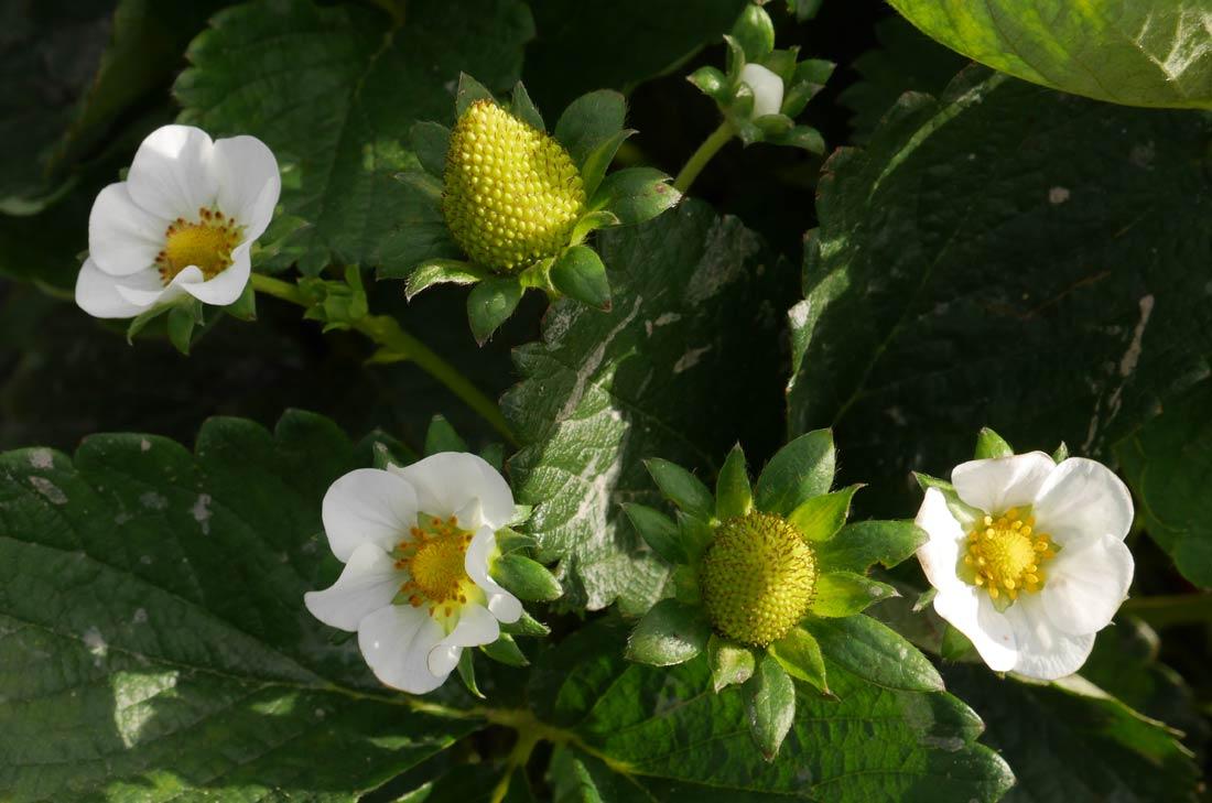 fraises d'Europe en fleurs