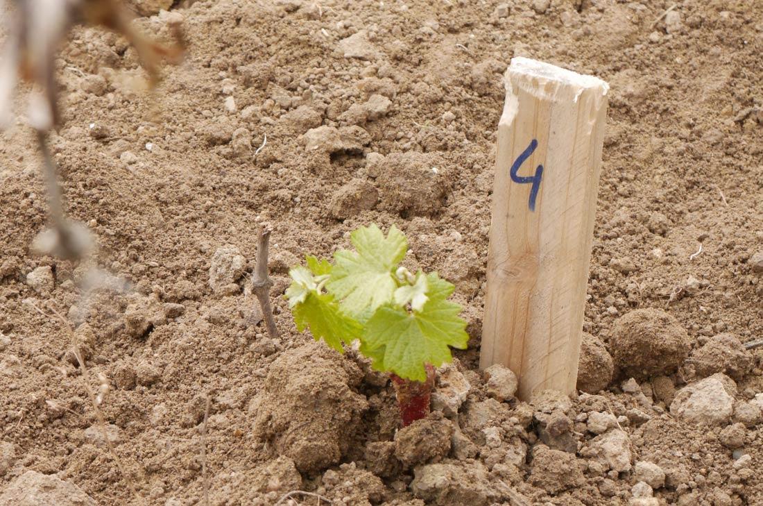 pied de vigne chez Leclerc Mondet