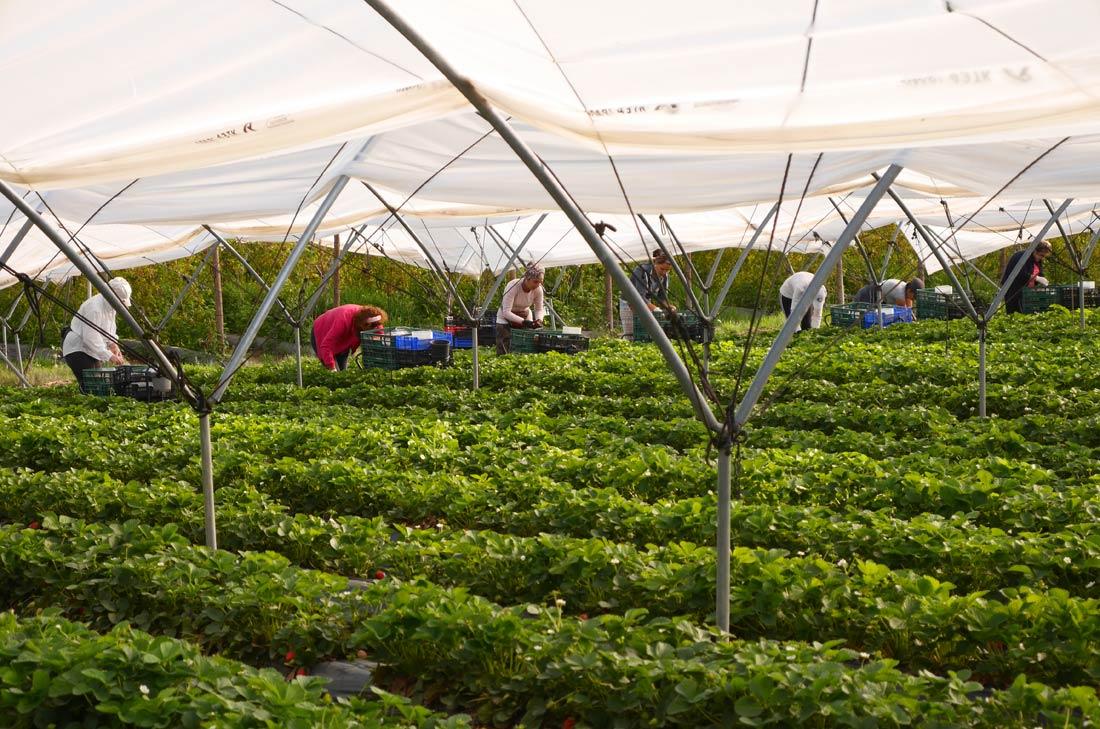 ramasseuses de fraises
