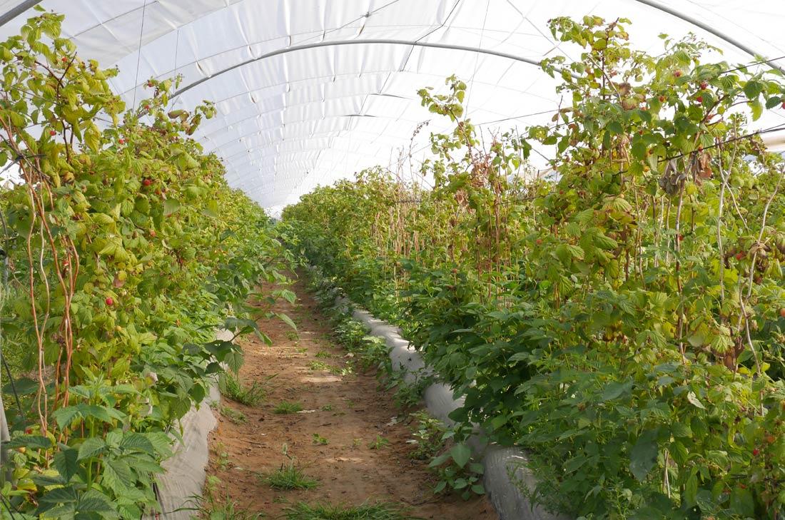 serres de fraises