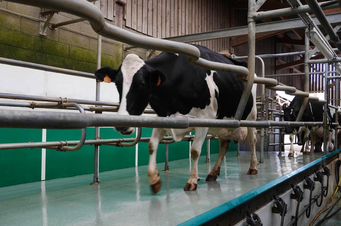 vaches Paysan Breton