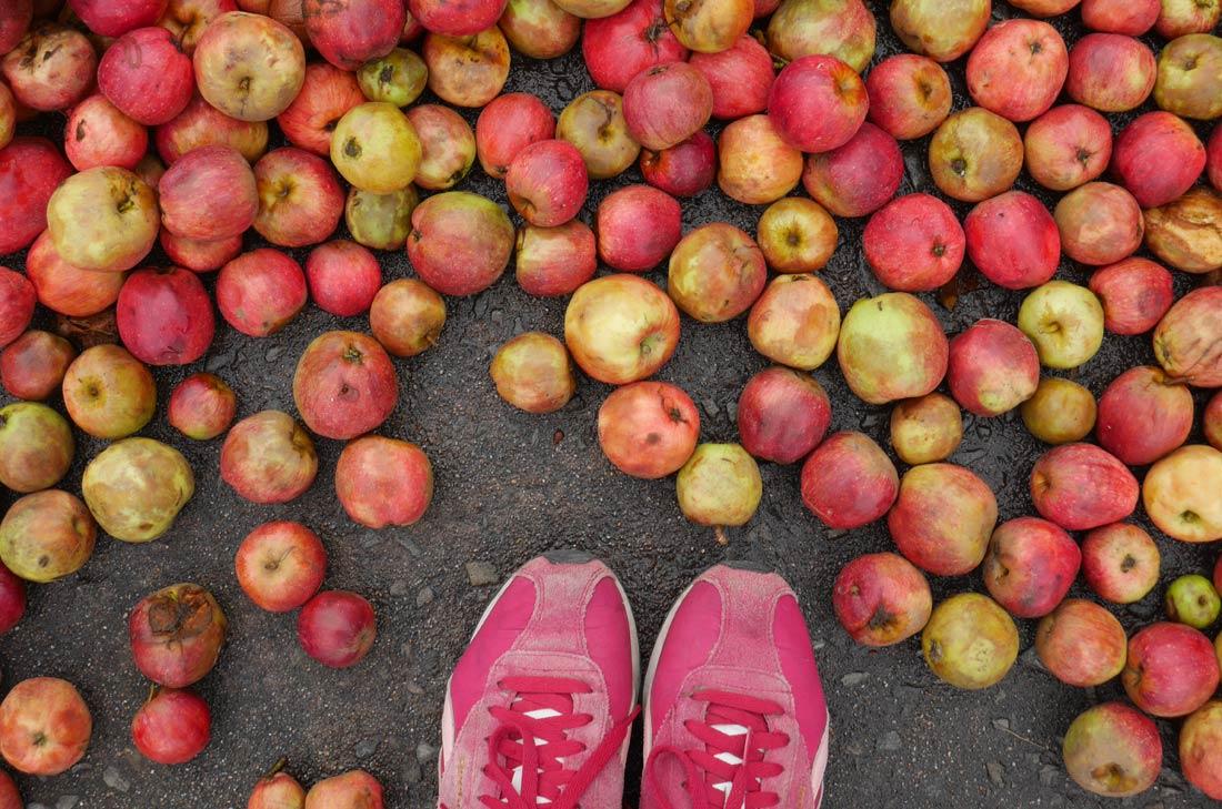pommes kerisac attendant d'être traitées