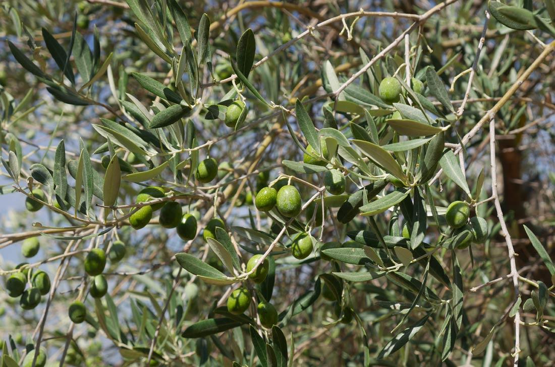 Olives du Douro