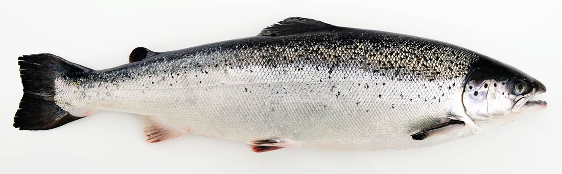saumon de norvège Laks