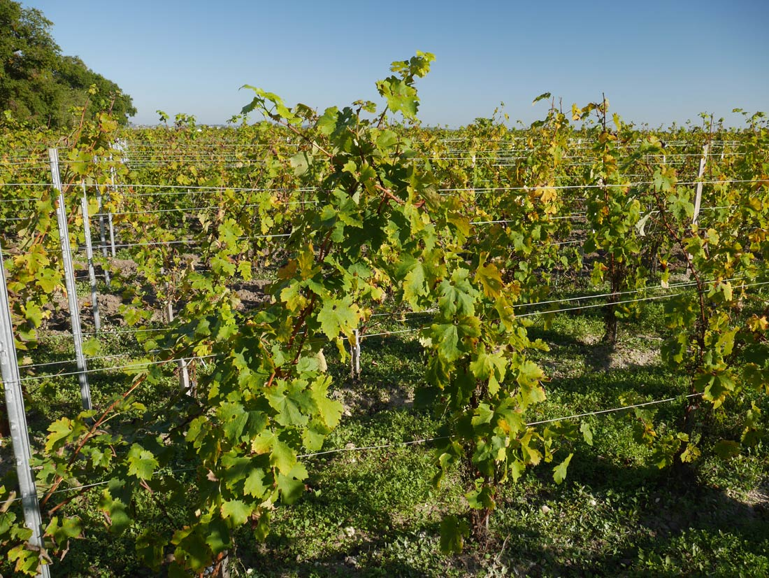 vignes Château Lamothe Bergeron et vignes