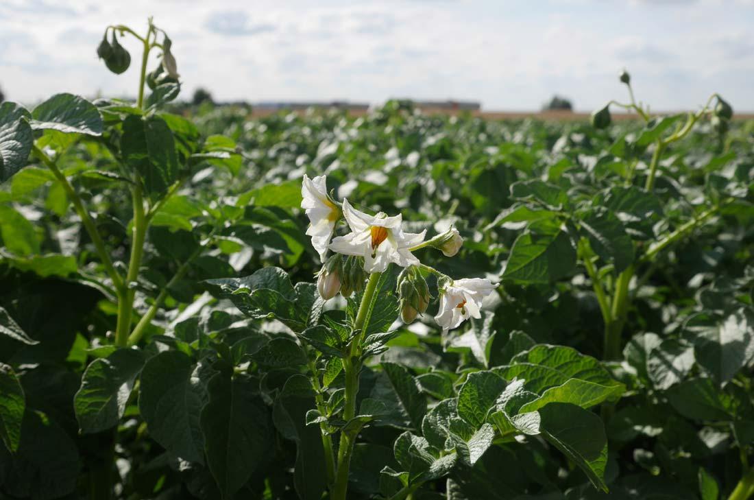 fleur de pommes de terre