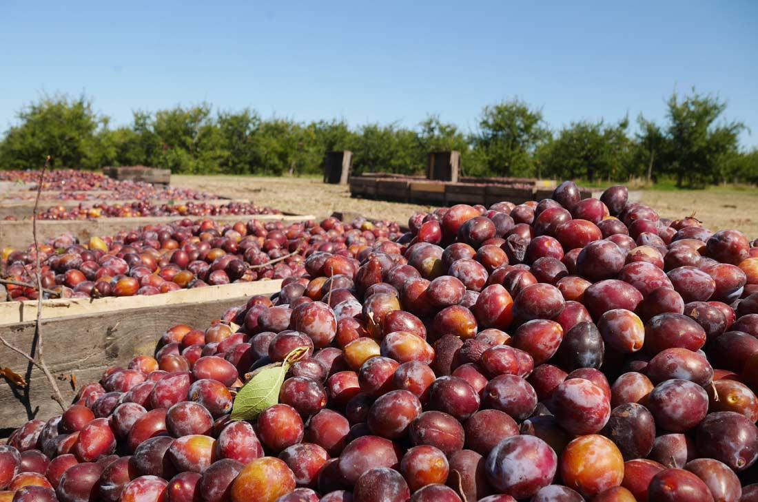 récolte de prunes