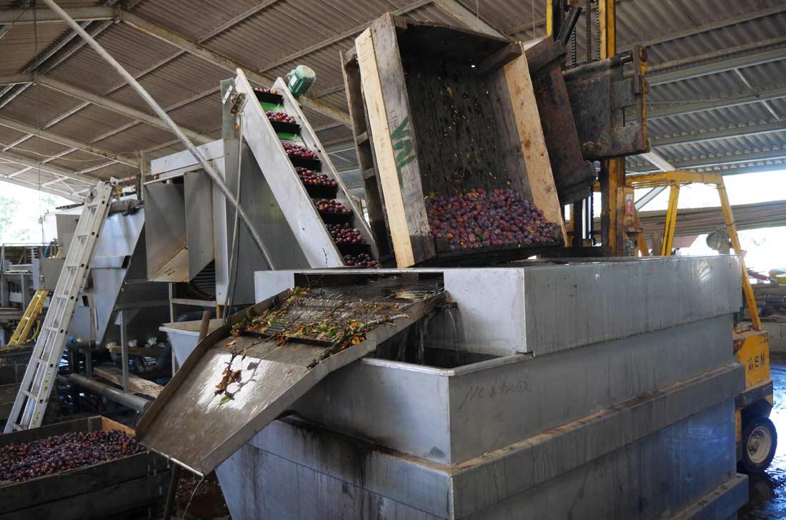 tri des prunes d'Ente chez Benoit Lefèvre