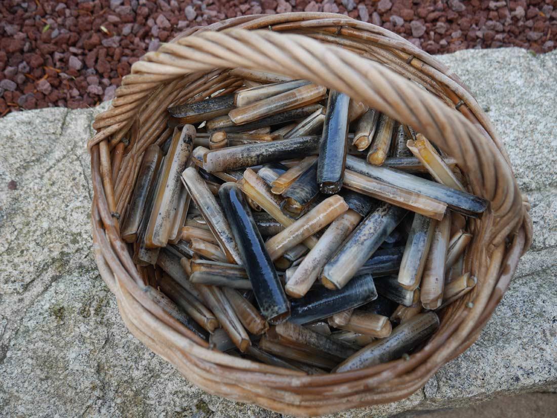 pêche aux couteaux en Bretagne