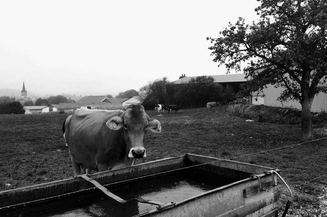 vache Brune des Alpes