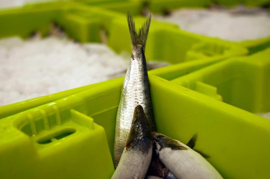 Les sardines Connétables préparées à l'usine Chancerelle