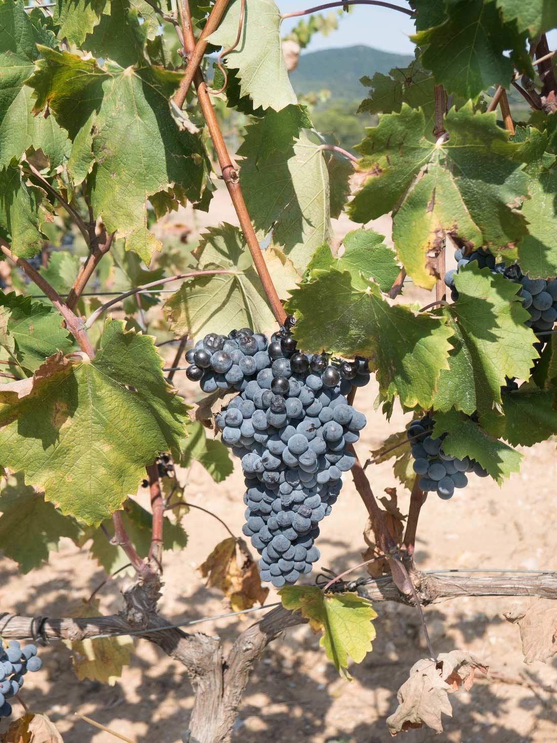 raisins vignoble Figuière