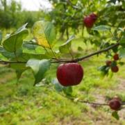 verger pommes à cidre Val de Rance