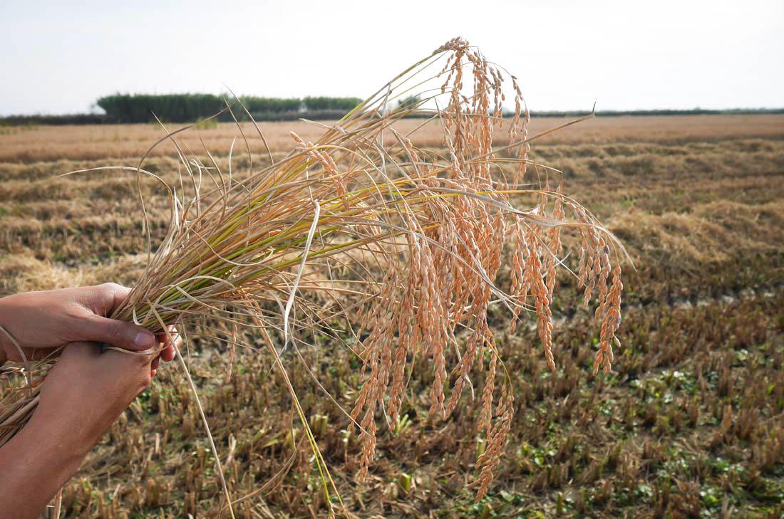 Récolte du riz de Camargue